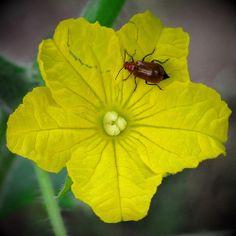 DIY Bug Juice Spray.  Really gross but I am desperately fighting cucumber beetles in my organic garden.