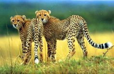 cheetahs with photos | Cheetah Cheetah Wallpaper
