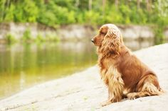 English Cocker Spaniel Grooming, Bathing, and Care