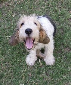 A big smile from Barry the Grand Basset Griffon Vendeen (GBGV) Puppies And Kitties, Baby Puppies, Cute Puppies, Cute Dogs, Doggies, Petit Basset Griffon Vendeen, Griffon Dog, Unusual Dog Breeds, Animals And Pets