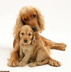 Photograph of Golden Cocker Spaniel and pup. Rights managed white background Dogs image. Perro Cocker Spaniel, Golden Cocker Spaniel, American Cocker Spaniel, English Cocker Spaniel Puppies, Beagle, Cute Puppies, Dogs And Puppies, Cockerspaniel, Golden Retriever