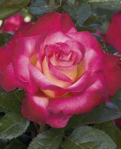 Dick Clark Hybrid Tea Rose