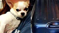 TSA discovers stowaway Chihuahua in owner's suitcase