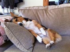 Wordless Corgi Wednesday: Nine (and-a-half) Nappy Noodlers! - The Daily Corgi Corgi Funny, Cute Corgi, Cute Puppies, Dogs And Puppies, Doggies, Pembroke Welsh Corgi Puppies, Corgi Dog, Dog Cat, Husky Puppy