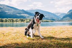 They're the Einsteins of the canine world, and the best sheepdogs around, but…