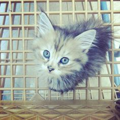 Sugar sugar sugar - Kitten | VSPETS - Internet Pet Competition, Cutest Dog Contest | Enter your pet at www.VSPETS.com