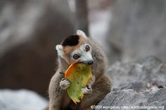 Female crowned lemur feeding on a mango rind... MADAGASCAR... LEMURS and all wildlife are at great risk and many going extinct...