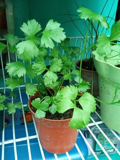Chinese celery/kinchay in a very small pot.