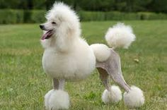 This is a poodle
