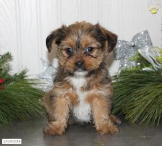 Find a puppy to adopt! Lancaster Puppies makes it easy to find homes for puppies from reputable dog breeders in PA and more. Shorkie Puppies For Sale, Lancaster Puppies, Pennsylvania, Anna, Friends, Dogs, Animals, Amigos, Animales
