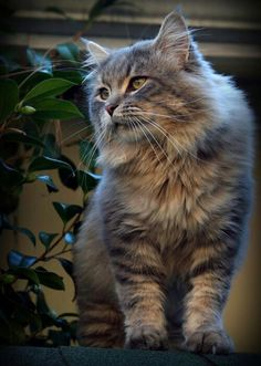Handsome little mister. I Love Cats, Cute Cats, Cat Profile, Grey Cats, Forest Cat, Maine Coon Cats, Cats And Kittens, Kitty Cats, Crazy Cat Lady