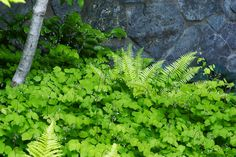 Vancouveria and Polystichum munitum. San Juan Island Residence   Broadhurst + Associates