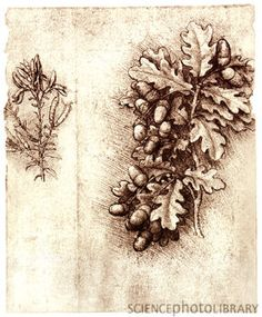 Leonardo Da Vinci (Italian, ~ Oak Leaves And Acorns ~ Red chalk drawing of a spray of oak leaves with cluster of acorns. Note the mastery with which the weight and the density of the spray are portrayed ~ Windsor Royal Collection Chalk Drawings, Art Drawings, Illustration Art, Illustrations, Pierre Auguste Renoir, Oak Leaves, Acorn And Oak, Michelangelo, Botanical Art