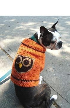 Boston Terrier in an owl sweater.