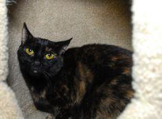 Adopt Tortie Tia! http://www.adoptapet.com/pet/6852828-new-york-new-york-cat