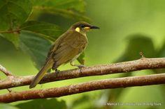 Mimic Honeyeater -  Indonesia and Papua New Guinea