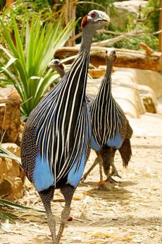 Vulturine Guineafowl. I'm unsure why of all the incredible birds in the world, I always have fantasized about this one as a pet.  Lol!