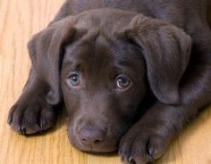 training a labrador puppy