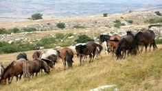 Livanjski divlji konji 2 - The wild horses of Livno 2 [Full HD] - Photo ... Livanjski divlji konji 2 - The wild horses of Livno 2 [Full HD] - Photo ...: http://youtu.be/gOA12D0U8VE?list=LLYQJEkCI4LYwVIacGjR7_1A via @YouTube