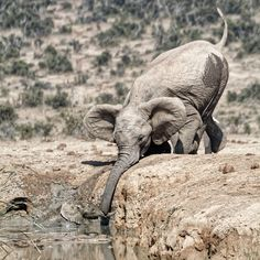 The little baby elephant fell into the waterhole and had a hard struggle getting out again. For more than 2 hours, its desperate mom tried to help it out