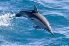 Common Dolphin - Bing Images