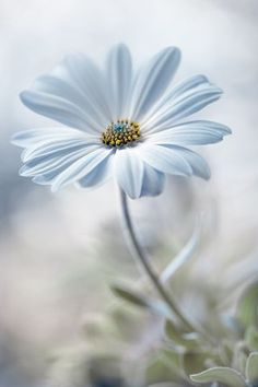 Wallpaper flores margaridas 20 ideas for 2019 My Flower, White Flowers, Flower Power, Beautiful Flowers, Single Flowers, Anemone Flower, Daisy Flowers, Tropical Flowers, Daisy Love