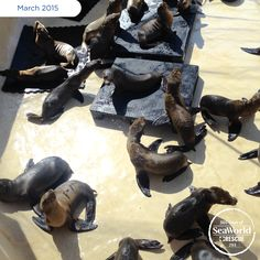 Here's another bunch of the many sea lions that SeaWorld has been rescuing during the #2015SeaLionCrisis. #365DaysOfRescue