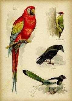 Parrot Woodpecker Raven Magpie Reproduction by MarcadeDigitalPrint