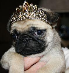 Pug in tiara