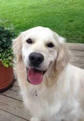 This is Bentley - 1 yr. He is potty trained, gets along with other dogs & knows a few commands. His foster is working on house manners. He would benefit form obedience class. Bentley is a young boy who needs plenty of daily exercise. He is looking for a forever home & is at Iowa Golden Retriever Rescue.