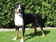Conoce al Boyero de Appenzell. http://www.planetacan.com/razas-de-perros/1483/boyero-de-appenzell