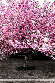 pink spring by David M. Zuber, via Flickr