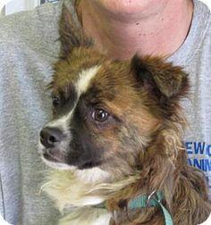 Rockaway, NJ - Terrier (Unknown Type, Medium) Mix. Meet Gizmo (JS-TN) MOPS, a dog for adoption. http://www.adoptapet.com/pet/12549714-rockaway-new-jersey-terrier-unknown-type-medium-mix