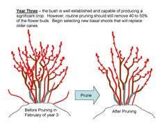 The NC Blueberry Journal: Pruning  Blueberry Plants