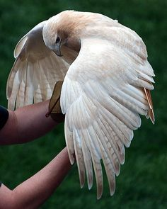 A leucistic (partially-albino) red-tailed hawk with its handler. Taken from the Minnesota Zoo in Apple Valley, MN. Of all the raptors, the red-tailed hawk is the most prone to occasional leucism and albinism. Fully albino individuals generally perish quickly, since the lack of pigment in the eyes robs the birds the ability to see effectively.  Leucistic individuals have a chance of surviving in the wild, since they retain pigment in their eyes. Thus, sightings of pale, ...