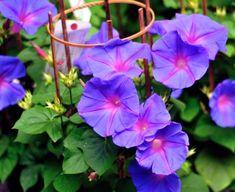 asagao (Japanese morning glory), beautiful flowers, Seven flowers of autumn Morning Glory Vine, Morning Glory Flowers, Morning Glories, Flora Flowers, Beautiful Flowers, Spring Flowers, Japanese Nature, Climbing Vines, Flowering Vines