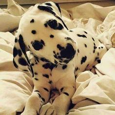 Dalmatians are such interesting dogs! I always wanted one as a kid