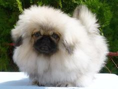 Pekingese Puppies Blog