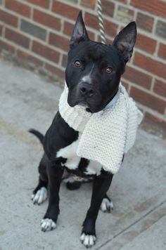 GONE 01/20/15 --- Brooklyn Center   DR HONEYDEW - A1025114   MALE, BLACK / WHITE, PIT BULL MIX, 1 yr STRAY - STRAY WAIT, NO HOLD Reason STRAY  Intake condition UNSPECIFIE Intake Date 01/10/2015  https://www.facebook.com/photo.php?fbid=945963578749855 +++++++++VERY SWEET+++++++++