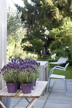 Lavender in lavender colored pots