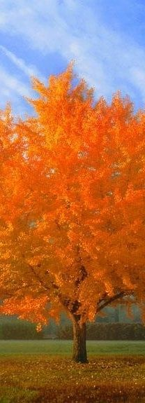 Such beauty in the creation of this brilliant orange tree of Autumn.