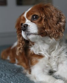 Molly, beautiful Cavalier!