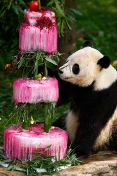 Super cute! :-) Panda's are allowed cake too you know ;-) So sweet! #Giant panda Tai Shan checks out his birthday cake at the National Zoo Thursday in Washington, DC. Aw. http://wp.me/p291tj-5x