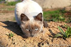 Photo about Burmese cat observing everything around it. Image of feline, grass, animal - 21727684 Burmese, Grass, Fox, Kitty, Stock Photos, Animals, Image, Animales, Herb