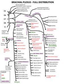 Instant Anatomy - Upper Limb - Nerves - Skin - Specific - Brachial plexus