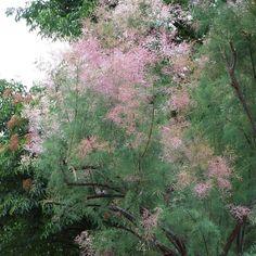 Pink tamarisk   Tamarix ramosissima