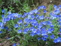 lithodora | File:Lithodora diffusa Heavenly Blue  Perennial spring to fall flowers  Ground cover - can spread 6'