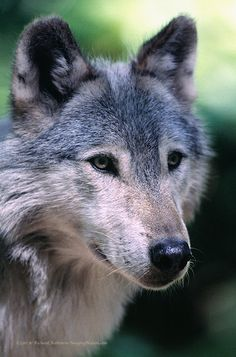 wolves are  fave  animals to me, felines are first