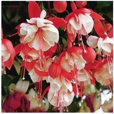 Double Pink Fuchsia Plant