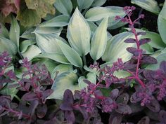 love this grey/green Hosta and purple sedum together, but this sedum looks a little ragged like mine always seems by mid season